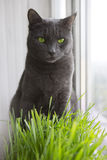 Cute Cat With Wheat Green Sprouts, Grass Growing Stock Photo