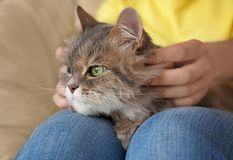 Cute cat on woman's laps royalty free stock images