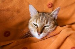 Cute cat wrapped in blanket Royalty Free Stock Images