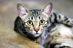 Cute cat with yellow eyes portrait. Thai street cat with bright yellow eyes staring directly into the camera Stock Photos