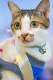 Cute cat  yellow eyes. Cute cat - yellow eyes - tiger-like pattern Royalty Free Stock Photo