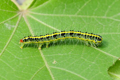 A cute caterpillar on leaf Stock Photography