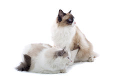 Cute Cats. Cute white furry cats, isolated on a white background stock photography