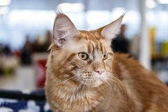 Cute cats animal exhibition. Beautiful and cute cats animal exhibition royalty free stock photo