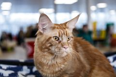 Cute cats animal exhibition. Beautiful and cute cats animal exhibition royalty free stock images