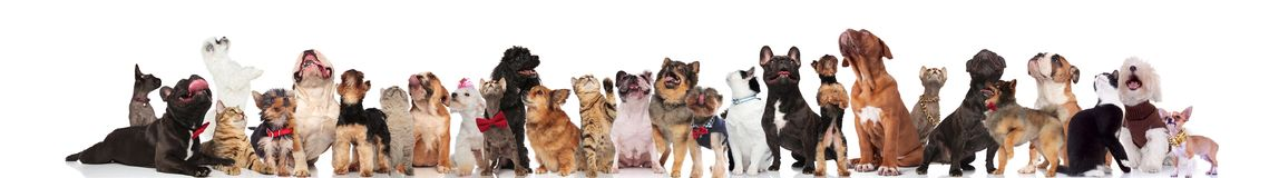 Cute cats and dogs wearing bowties and collars look up. While standing and sitting on white background royalty free stock photo