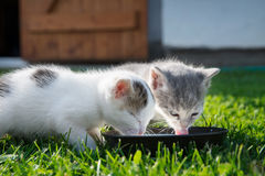 Cute cats drinking milk Royalty Free Stock Image