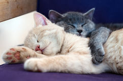 Cute cats / kittens. Sleeping together stock photo