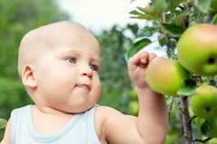 Cute caucasian baby boy picking up fresh ripe green apple from tree in orchard in bright sunny day. Funny child looking at stock image