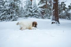 Cute Caucasian Shepard Dog Running in Winter Forest stock images