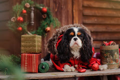 Cute cavalier king charles spaniel dog in red coat celebrating christmas at cozy country house Stock Image