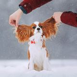 Cute cavalier king charles spaniel sits in the snow