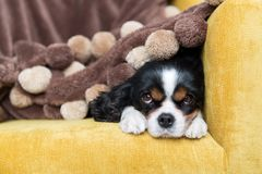 Portrait of a dog. Cute cavalier spaniel relaxing on the sofa, under warm brown blanket Royalty Free Stock Photography