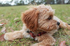 Cute Cavoodle puppy chewing a stick in the grass Royalty Free Stock Photography