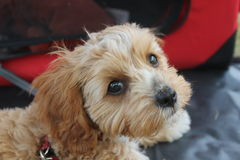 Cute Cavoodle puppy looking Stock Images