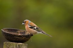 Cute chaffinch feeding Royalty Free Stock Image