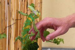 Cute chameleon Royalty Free Stock Photography
