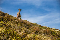 Cute Chamois Staying On The Steep Hill-Alps,France Royalty Free Stock Photos