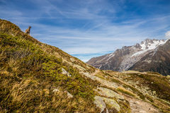 Cute Chamois Staying On The Steep Hill-Alps,France Stock Photography