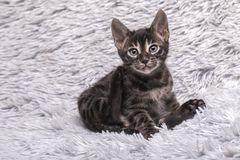 Cute charcoal Bengal kitten sitting on soft grey blanket royalty free stock photos