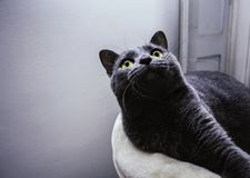 Cute chartreux cat looking up and resting at home stock photo
