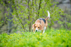 Cute cheeful dog. Beagle cute dog outside on grass sniffing, summer time Stock Photography