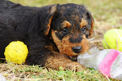 Cute cheeky playful pet puppy Airedale Terrier dog playing ball royalty free stock photography