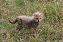 Cute cheetah cub royalty free stock image
