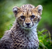 Cute Cheetah cub looking at camera Stock Photo
