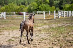 Cute chestnut foal foal trotting and making dust near white wooden fence at the farm, back view Royalty Free Stock Photos