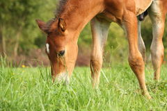 Cute chestnut foal at the grazing stock images