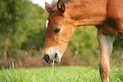 Cute chestnut foal at the grazing royalty free stock photography