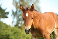 Cute chestnut foal at the grazing stock photo