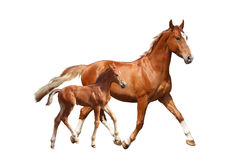 Cute chestnut foal and his mother trotting on white background Stock Image