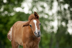 Cute chestnut foal portrait in summer Royalty Free Stock Photos