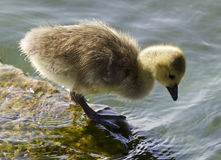 Cute chick of the Canada geese is looking into the water Royalty Free Stock Photo