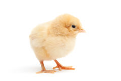 Cute Chick Isolated On White Royalty Free Stock Photos