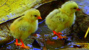 Cute chick Royalty Free Stock Images