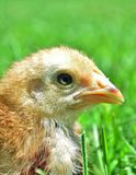 Cute chick Stock Photos