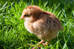 Cute chick standing on grass Stock Photos