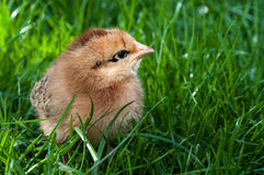 Cute chick standing on grass Stock Photography