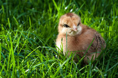 Cute chick standing on grass Royalty Free Stock Images