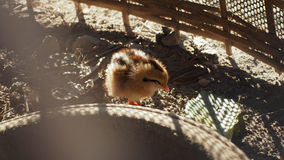 Cute chick Stock Images