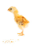 Cute chick Stock Photo