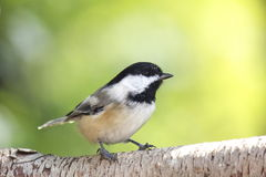 Cute Chickadee. A black-capped chickadee perching on a branch in summer Stock Photography