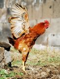 Cute chicken. With opened wings ready to fly stock image
