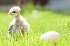 Cute chicken Stock Photos