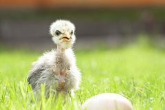 Cute chicken Royalty Free Stock Photos