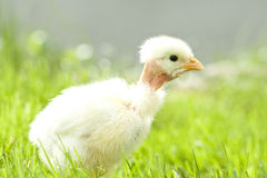 Cute chicken on green grass Stock Photo