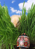 Cute Chicken Hiding in Grass Royalty Free Stock Image
